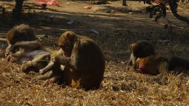Świątynne makaki.